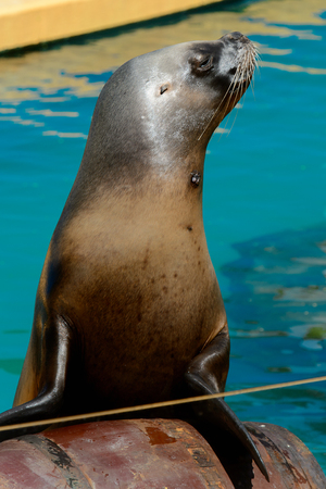 Patagonian sea lion in the zoo