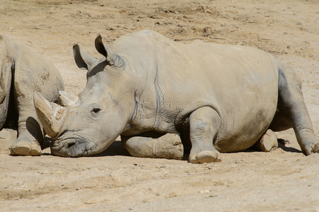 Rhinocero takes a rest in the zoo on the sand