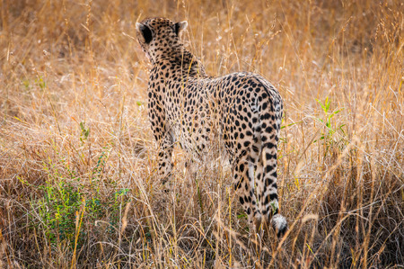 Beautiful leopard in the grass in Kenya, Africa