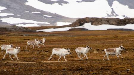 Svalbard reindeer 版權商用圖片