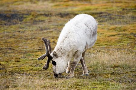 Svalbard reindeer on the grass in Spitzbergen