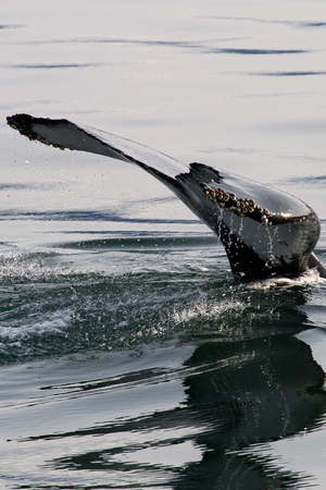 Tail of a Whale above the water 免版税图像
