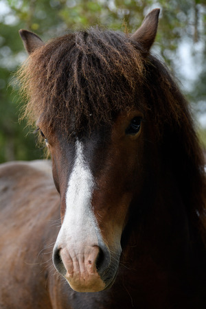 Close view of an Icelandic horse 스톡 콘텐츠