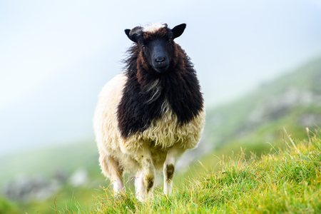 Sheep on the grass, Faroe Islands.