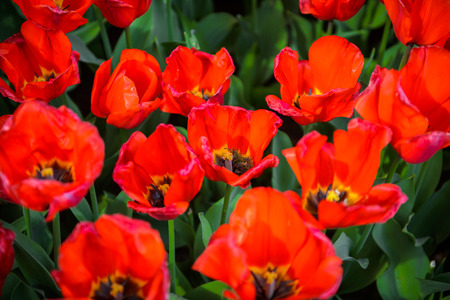 Red tulips in the Keukenhof park in Netherlands Banque d'images