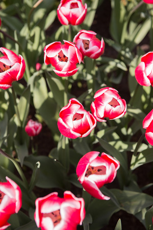 Pink and white tulips in the Keukenhof park in Netherlands Stock Photo
