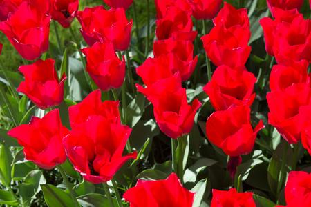Pink tulips in the Keukenhof park in Netherlands