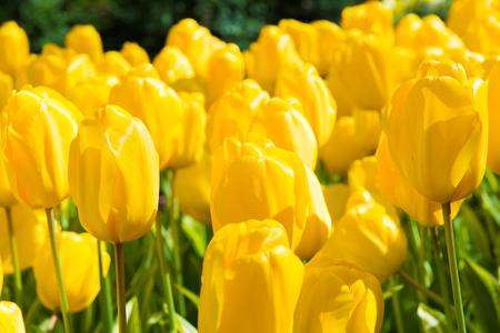 Yellow tulips in the Keukenhof park in Netherlands