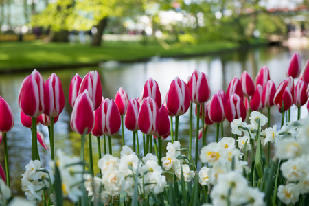 Pink and white tulips in the Keukenhof park in Netherlands 스톡 콘텐츠