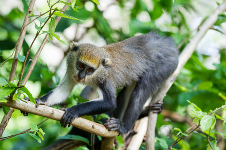 Monkey (Cercopithecus mona) jumps on the tree in Ghana