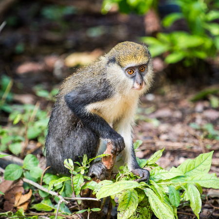 Cercopithecus mona, Ghanaian monkey sits on the ground Banco de Imagens