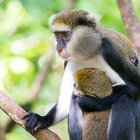 Monkey (Cercopithecus mona) with her baby cub in Ghana