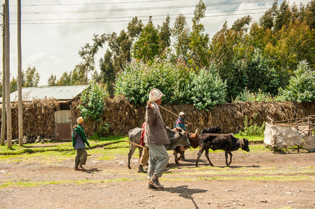 OMO, ETHIOPIA - SEPTEMBER 19, 2011: Unidentified Ethiopian men excort the cows. People in Ethiopia suffer of poverty due to the unstable situation 新闻类图片