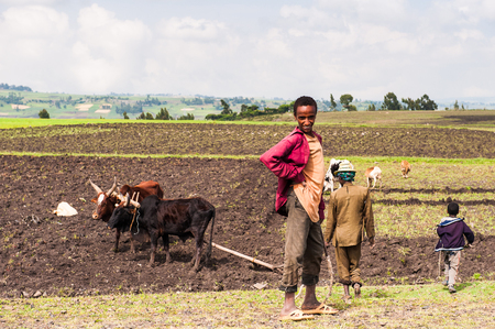 OMO, ETHIOPIA - SEPTEMBER 19, 2011: Unidentified Ethiopian boys in the field with cows. People in Ethiopia suffer of poverty due to the unstable situation 新闻类图片