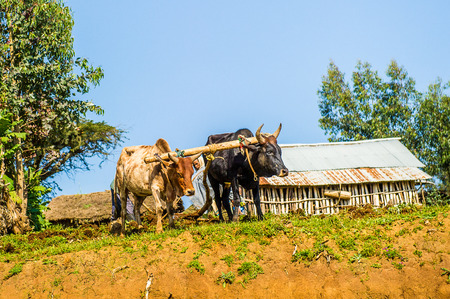 OMO, ETHIOPIA - SEPTEMBER 21, 2011: Unidentified Ethiopian woman and the cows. People in Ethiopia suffer of poverty due to the unstable situation