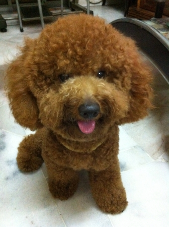 otganimalpets01: Toy poodle Stock Photo