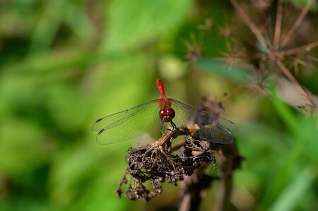 predatory insect: Ruddy Darter  male  on the dried flowers Stock Photo