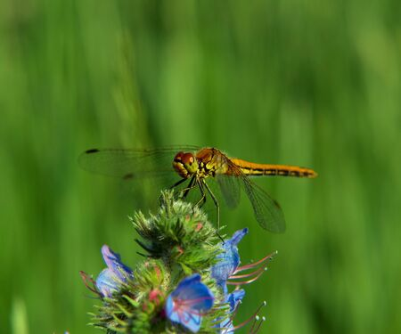 predatory insect: Dragonfly on a flower