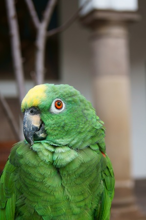 Yellow-crowned Amazon Parrot photo