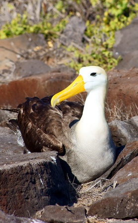 waved: Waved Albatross Nesting on Espanola Island Stock Photo