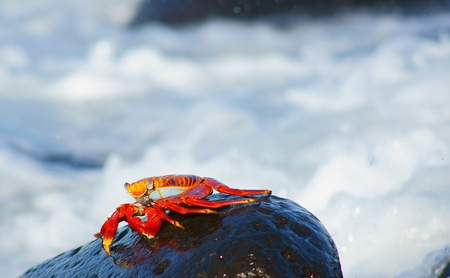 A Red Rock Crab scurries above the surf in the Galapagos, Ecuador  photo