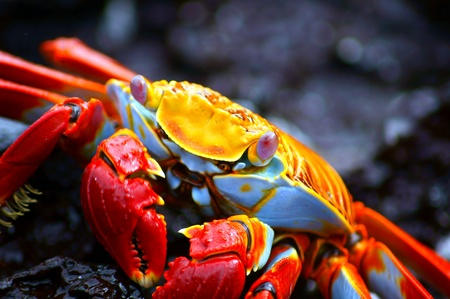 A close-up of a Red Rock Crab in the Galapagos, Ecuador