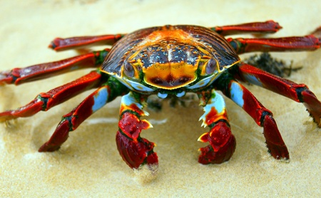 A Red Rock Crab takes a defense stance on a beach in the Galapagos, Ecuador  photo