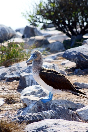 booby: Blue-Footed Booby Poses on a Rock in the Galapagos, Ecuador Stock Photo