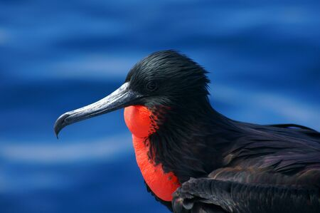 Magnificent Frigatebird in the Galapagos, Ecuador photo