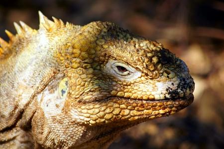 Close-up of a Galapagos Land Iguana on Fernandina Island in the Galapagos, Ecuador Stock Photo - 13369921