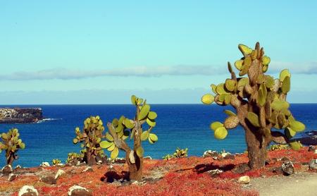 galapagos: Catus on the South Isla Plaza, Galapagos, Ecuador