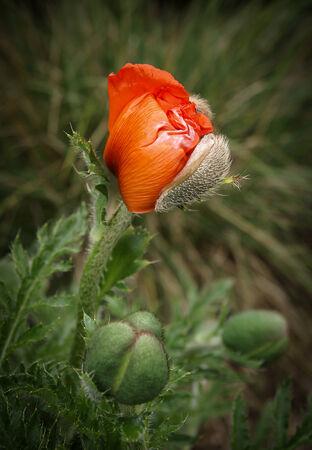 Poppy flowers and buds photo