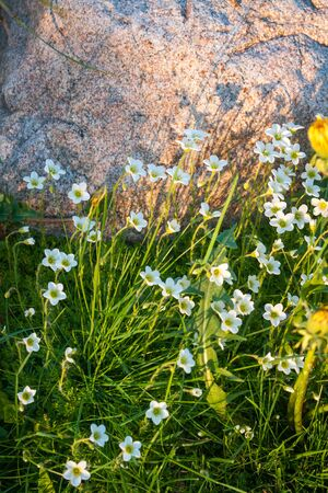 Spring flowers in a garden at Palekh,  Vladimir region, Russia photo
