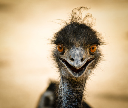 Portrait of a smiling  ostrich photo