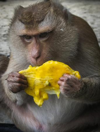 anthropoid: Monkey eating mango on the beach, Karon beach, Phuket, Tailand