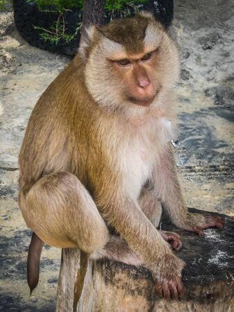 anthropoid: Monkey  on the beach, Karon beach, Phuket, Tailand Stock Photo