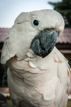 Portrait of a big rose parrot, Koh Samui, Land of smiles photo
