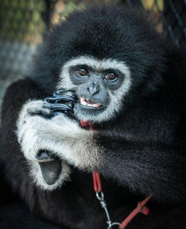 anthropoid: Little Black Gibbon, Koh Samui, Land of smiles Stock Photo