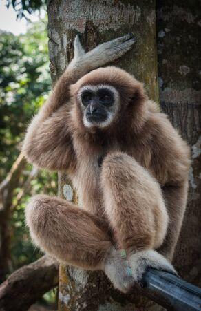 anthropoid: Image of Little Brown Gibbon, Koh Samui, Thailand