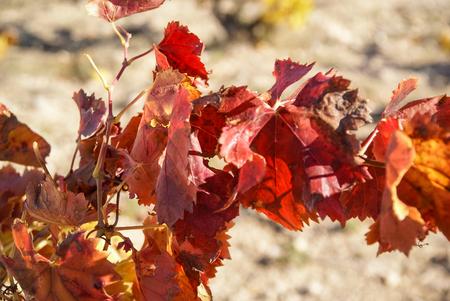 zaragoza: Image of Grapes at Estepas de Belchite, Zaragoza, Aragon, Spain