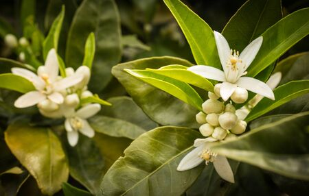 orange yellow: White spring flowers of orange tree, Peloponnese, Greece Stock Photo