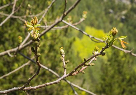 olimpo: Imagen de los �rboles de primavera en el monte Olimpo, Grecia central