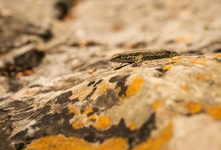 flink: Bild des kleinen flinken Eidechse auf den Felsen