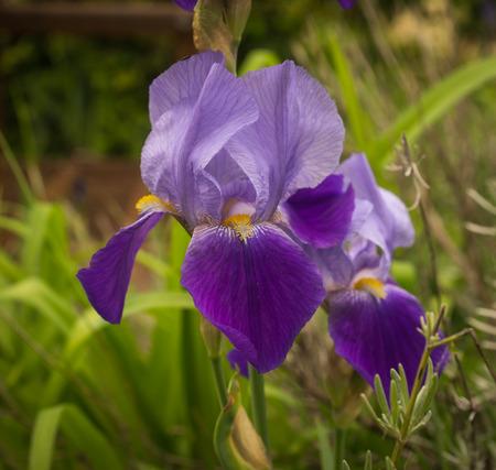 purple irises: Image beautiful purple irises in a garden, Northern Greece Stock Photo