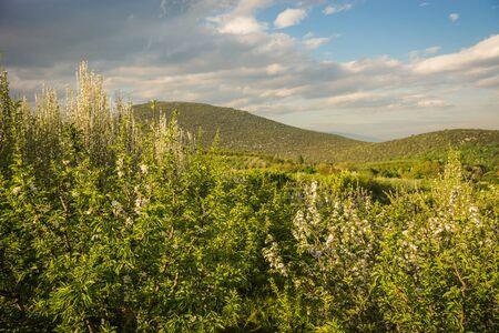 arbres fruitier: Image de la floraison des arbres fruitiers dans les montagnes pr�s Edessa, Gr�ce
