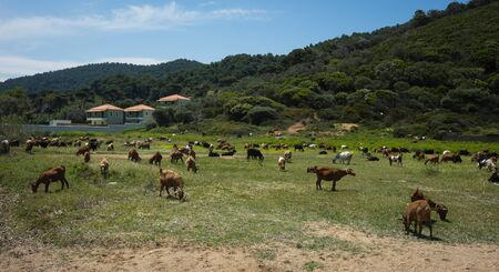 sporades: Goats grazing on the beach, Skiathos, Greece