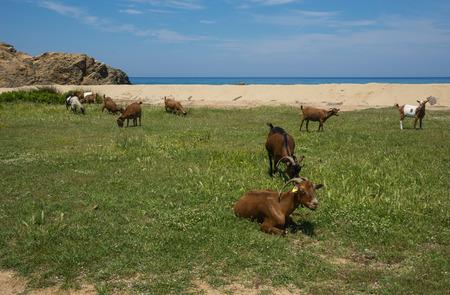 skiathos: Goats grazing on the beach, Skiathos, Greece
