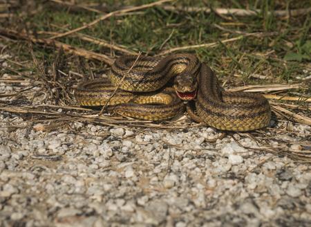 sporades: Beautiful image of a snake, Sciros, Greece