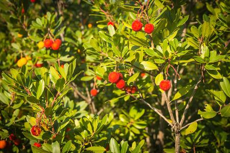 sporades: Image of autumn berries, Skiros, northern Sporades, Greece