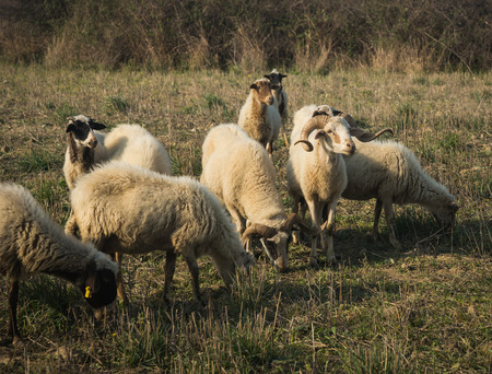 sporades: Image of a flock of sheep, Skiros, Cyclades, Greece